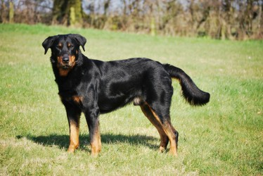 Overhill Kennels, French Beauceron