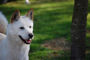 Korean Jindo, Overhill Kennels